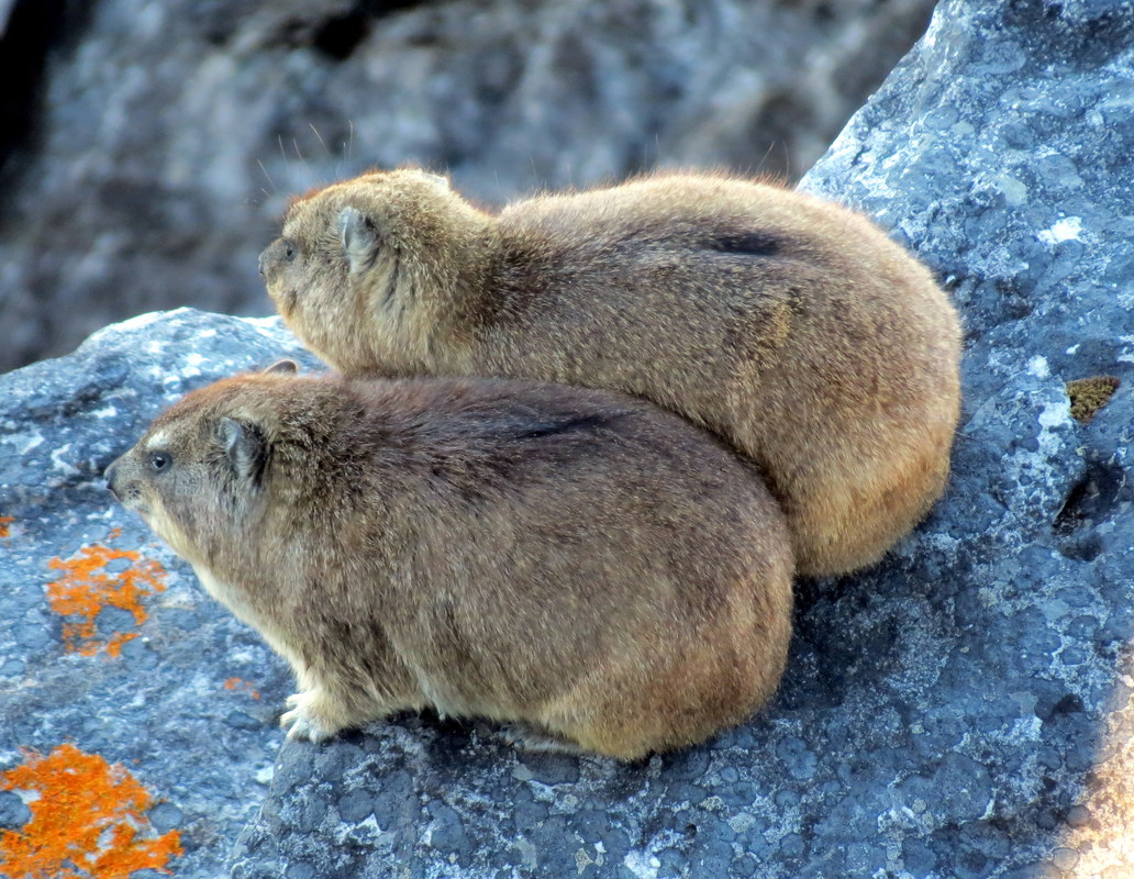 Rock Hyrax on Table Mountain